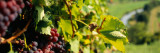 Close-Up of a Grape Vine in a Vineyard, Germany Wall Decal