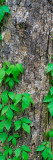 Poison Ivy Vine on Tree Trunk, Kistachie National Forest, Louisiana Wall Decal