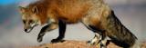 Red Fox on Hilltop Wallsticker