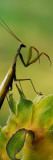 Praying Mantis Perched on Flower Blossom, Canada Wall Decal