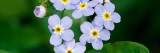 Forget-Me-Not Flowers (Myosotis Scorpioides) Blooming, New York Wall Decal