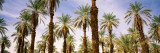 Low Angle View of Palm Trees, Furnace Creek, Death Valley National Park, California Wall Decal by  Panoramic Images