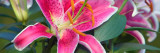Stargazer Lily Flowers (Lilium 'Stargazer') in Bloom, Close Up, North Carolina Wallstickers