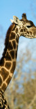Giraffe (Giraffa Camelopardalis) Wall Decal