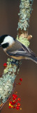 Black-Capped Chickadee Bird on Tree Branch With Berries, Michigan Autocollant mural
