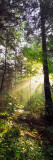 Sunbeams in Dense Forest, Great Smoky Mountains National Park, Tennessee Wall Decal