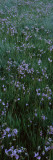 Shooting Star Flowers (Dodecatheon Meadia) in a Field, Crane Flat, Yosemite National Park Wall Decal by  Panoramic Images