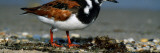 Adult Ruddy Turnstone Seabird (Arenaria Interpres) on Beach Wall Decal