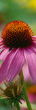 Purple Coneflower Blossom (Echinacea Purpurea), New York Wall Decal