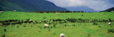 Rural Scene With Sheep Grazing, Dark Clouds, Ireland Wall Decal