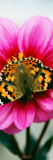 Painted Lady Butterfly on Dahlia Flower Blossom Wall Decal