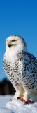 Snowy Owl (Nyctea Scandiaca) on Snow Perch Wall Decal