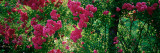 High Angle View of Pink Roses On a Trellis, Elizabeth Park, Hartford, CT Autocollant mural par  Panoramic Images
