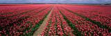 Tulips Near Alkmaar, Netherlands Muursticker van Panoramic Images,