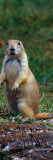 Prairie Dog Sitting Up in Grass, Looking At Camera, North Dakota Wall Decal