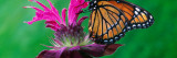 Viceroy Butterfly (Limenitis Archippus) on Bee Balm Flower Blossom, Michigan Wall Decal