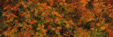 Rowan (Sorbus Aucuparia) Tree in Autumn, Grand Teton National Park, Wyoming Wall Decal by  Panoramic Images