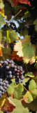 Close-Up of Grapes Hanging on a Plant in a Vineyard Vinilos decorativos