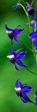 Poison Delphinium Flowers in Bloom Wall Decal