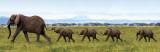 Elefanter, på række med snablerne om hinandens haler Plakater