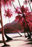 Red Palm Trees-Along Beach Poster