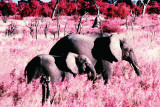 Elephants-Standing Posters