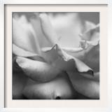 Rose Petals II Posters by Nicole Katano