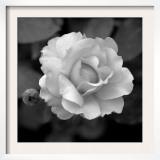 Sweet Rose II Poster by Nicole Katano