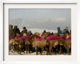 Afghan Men Look at Sheep with Their Backs Painted in Red, Kabul, Afghanistan, December 28, 2006 Framed Photographic Print by Rafiq Maqbool