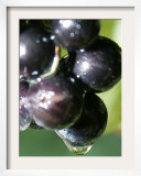 A Drop of Water Drips off of a Grape at Ackerly Pond Vineyards Framed Photographic Print