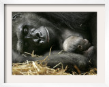 Western Lowland Gorilla, Cradles Her 3-Day Old Baby at the Franklin Park Zoo in Boston Framed Photographic Print