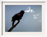A Red-Winged Blackbird Framed Photographic Print