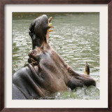 Male Nile Hippopotamus Plays at the Smithsonian National Zoo Framed Photographic Print