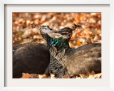 Two Peacocks Peck at Each Other Amidst Autumn Leaves in the Lazienki Park in Warsaw, Poland Framed Photographic Print