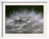 Top of a Dandelion Seed Head is Seen in the Morning Light in Marysville, Pennsylvania Framed Photographic Print