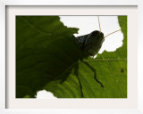 A Late Summer Grasshopper Munches on Some Green Leaves Framed Photographic Print