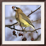 A Cedar Waxwing Tosses up a Fruit from a Flowering Crab Tree, Freeport, Maine, January 23, 2007 Framed Photographic Print by Robert F. Bukaty