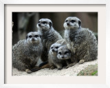 Slender-Tailed Meerkats Snuggle Against Each Other for Warmth in the Zoo in Hanover Framed Photographic Print