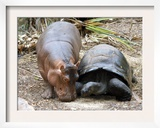 Baby Hippo Walks Along with its 'Mother', a Giant Male Aldabran Tortoise, at Mombasa Haller Park Framed Photographic Print