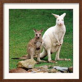 Mulali, Right, a Two-Year-Old Albino Grey Kangeroo Stands Next to Her Joey Framed Photographic Print