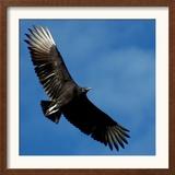 A Black Buzzard Flies Off Framed Photographic Print
