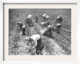 Mexican Cotton Pickers Framed Photographic Print
