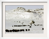 The Buffalo Herd of the Assinibone and Gros Ventre Indians Framed Photographic Print