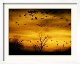 Sandhill Cranes are Silhouetted against a Fiery Sunset Framed Photographic Print