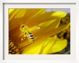 A Bee Covered with Yellow Pollen Approaches the Blossom of a Sunflower July 28, 2004 in Walschleben Framed Photographic Print