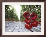 Tomato Greenhouse, Madison, Maine Framed Photographic Print by Robert F. Bukaty