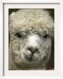 Zephyr Moon, a 2-Year-Old Alpaca, at the Vermont Farm Show in Barre, Vermont, January 23, 2007 Framed Photographic Print by Toby Talbot