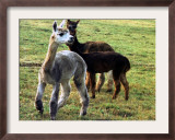 Sheared Alpacas Look Around Their Field August17, 2003, in Sandpoint, Idaho Framed Photographic Print by Jay Cohn