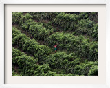 Female Farm Worker Picks Up Dragon Fruit in Ticuantepe, Nicaragua, September 26, 2006 Framed Photographic Print by Esteban Felix