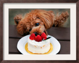 Toy Poodle Eats a Special Christmas Cake Made from Rice Powder and Natural Honey in Tokyo Framed Photographic Print